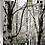 Thumbnail: Woodland Scene - Silver Birch I