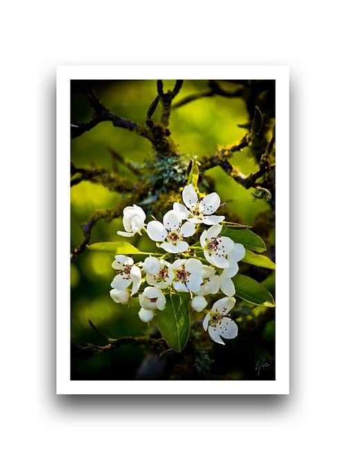 Plum Blossom II