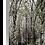 Thumbnail: Woodland Scene - Silver Birch II