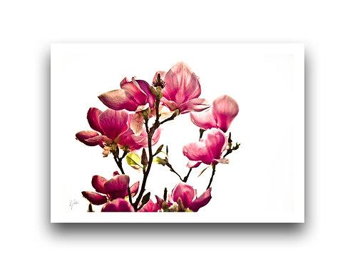 Tickle me Pink - Magnolias