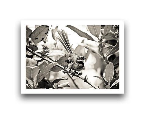 Fantail - Black n' White