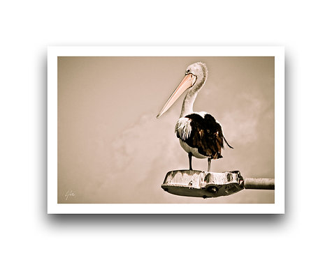 King of the River - Pelican
