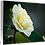 Thumbnail: Shine on Me - Camellia