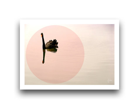 Pink Dusk - Swan