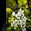 Thumbnail: Apple Blossom II
