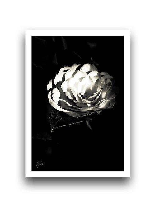 Dazzling and Divine - Camellia III