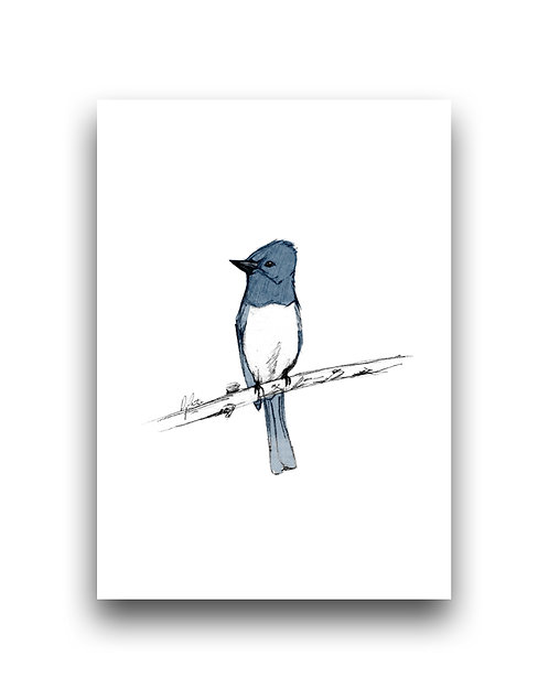 Flycatcher  - Illustration