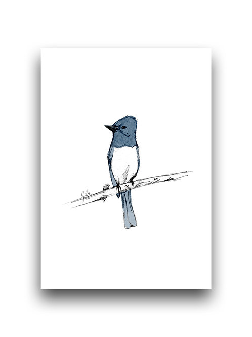 Flycatcher  - Illustration