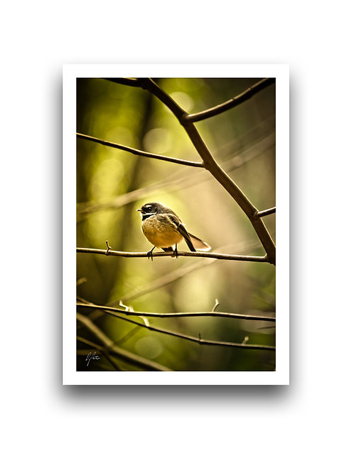 Fantail In The Woods III