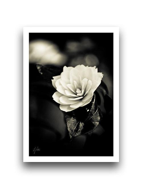 Imperial - Camellia II