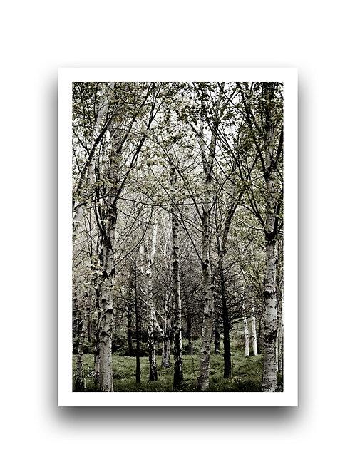 Woodland Scene - Silver Birch II