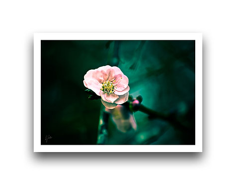 Blossom III