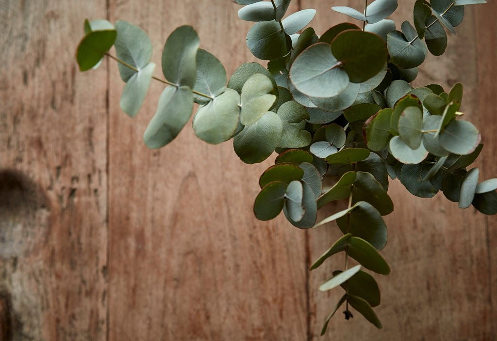 eucalyptus_uses_and_benefits_sonoma_lave