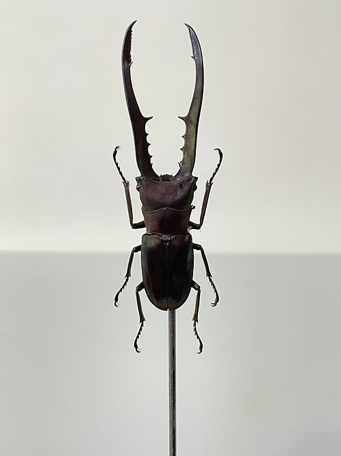 LONG JAWED BEETLE on dosay stand - decorative taxidermy