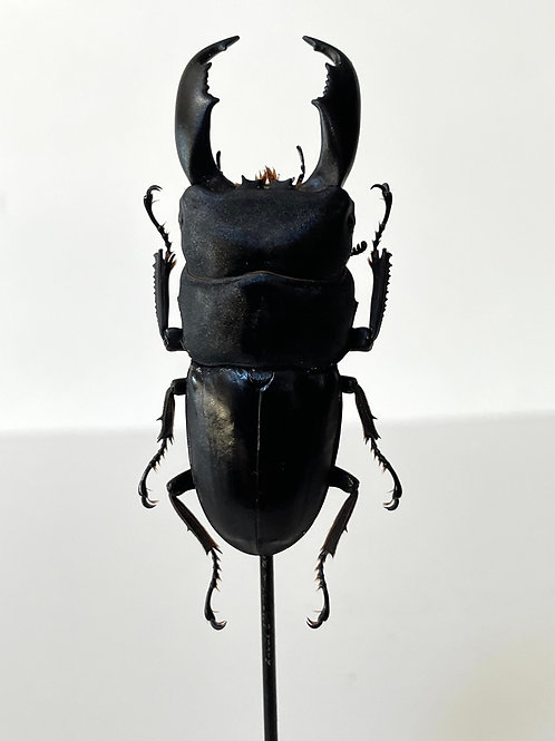 GIANT STAG BEETLE on display stand - decorative taxidermy