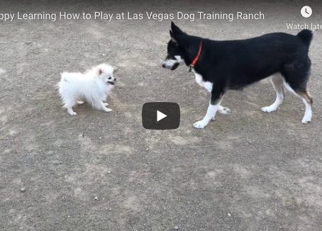 Pomeranian Puppy Casper Learning How to Play Safely