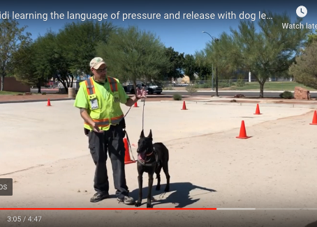 Pressure and Release Dog Leash Training with Heidi the Rottwieler