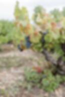 Vignes dans le Beaujolais, Lacenas. Photo : Bon Mariage