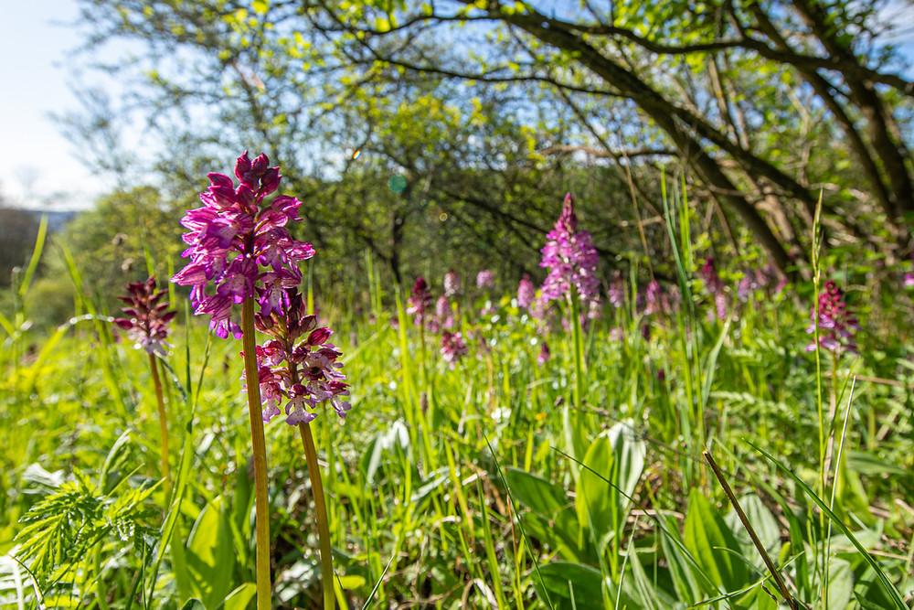 orchideen-leutratal-wanderung-jena_Knabenkraut