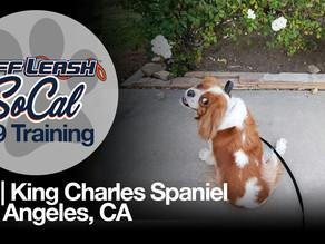 Gio | King Charles Spaniel | Los Angeles, CA
