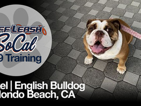 Hazel | English Bulldog | Redondo Beach, CA