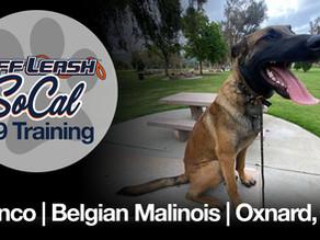 Bronco | Belgian Malinois | Oxnard, CA
