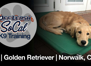 Lily | Golden Retriever | Norwalk, CA