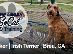 Tucker | Irish Terrier | Brea, CA