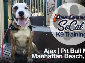 Ajax | Pit Bull MiX | Manhattan Beach CA.