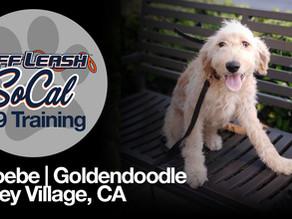 Phoebe | Goldendoodle | Valley Village, CA
