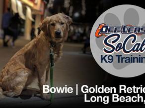 Bowie| Golden Retriever | Long Beach, CA