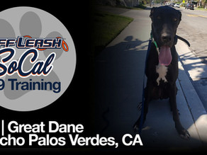 Cali | Great Dane | Rancho Palos Verdes, CA