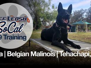 Bella | Belgian Malinois | Tehachapi, CA