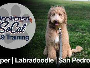 Cooper | Labradoodle | San Pedro, CA