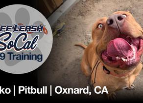Roko | Pitbull | Oxnard, CA