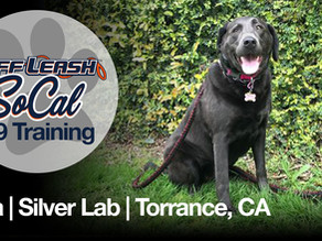 Nya | Silver Lab | Torrance, CA