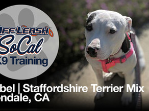 Mabel   Staffordshire Terrier Mix   Glendale, CA