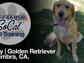 Cody | Golden Retriever | Alhambra, CA