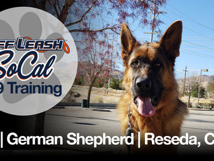 Leo | German Shepherd | Reseda, CA