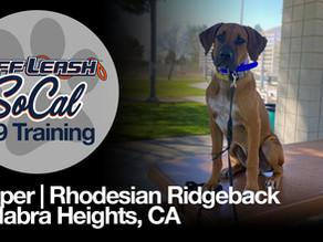Cooper | Rhodesian Ridgeback | La Habra Heights, CA