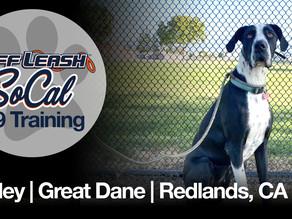 Ashley   Great Dane   Redlands, CA