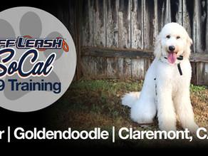 Dior | Goldendoodle | Claremont, CA