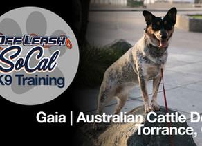 Gaia | Australian Cattle Dog | Torrance, CA