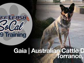 Gaia   Australian Cattle Dog   Torrance, CA