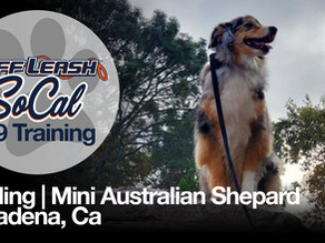 Sterling | Mini Australian Shepherd | Pasadena, Ca