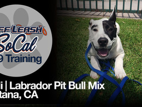 Codi | Labrador Pit Bull Mix | Fontana, CA