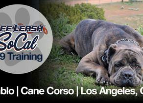Diablo | Cane Corso | Los Angeles, Ca