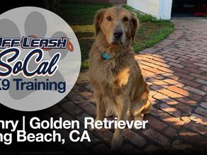 Henry | Golden Retriever | Long Beach, CA