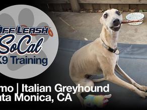 Tiamo | Italian Greyhound | Santa Monica, CA