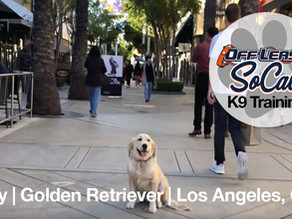 Lucy   Golden Retriever    Los Angeles, CA